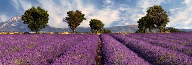 Lavender-Field-800X2752.jpg